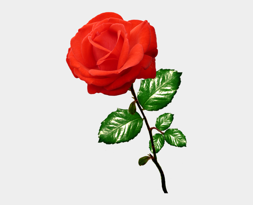rose clip art, Cartoons - Red Rose Clipart Long Stalk - Clipart Picture Of Rose