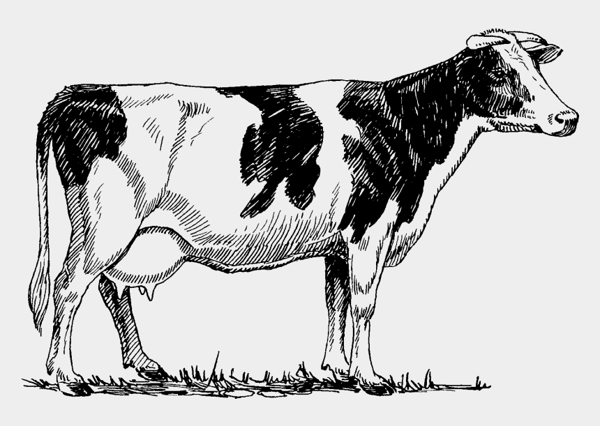 cow clipart, Cartoons - Cattle Clipart Guernsey Cow - Cow Drawing Png
