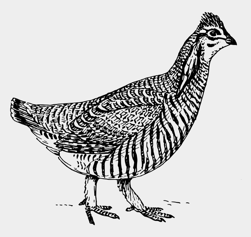 chicken clipart, Cartoons - Female Prairie Chicken Drawing