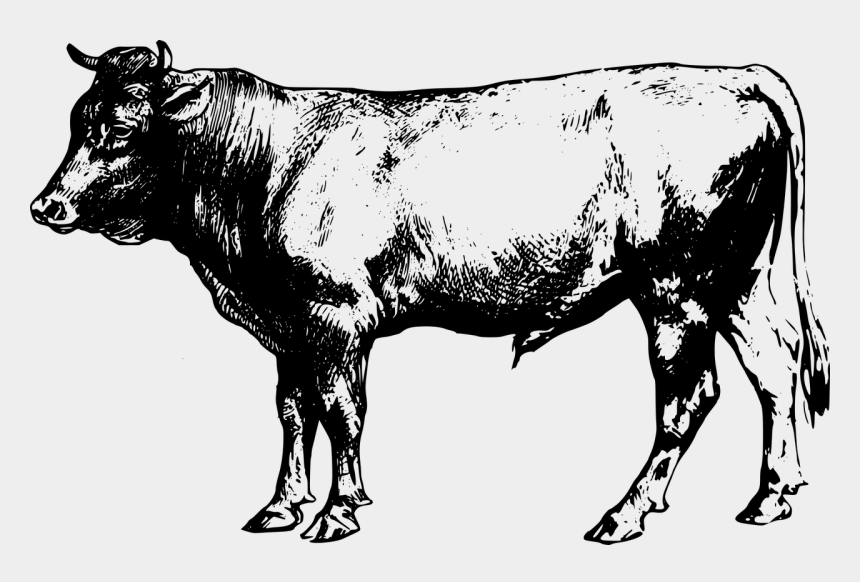 Cattle Clipart Angus Cattle Black Angus Cow Clipart