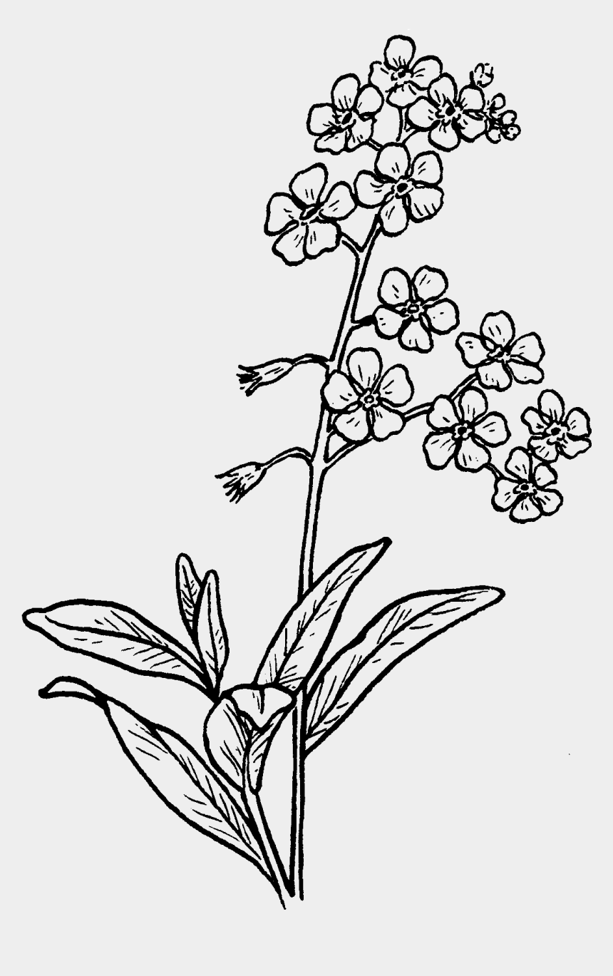 flowers clipart black and white, Cartoons - Forget Me Not Tidbits Freebie - Forget Me Not Flower To Drawing