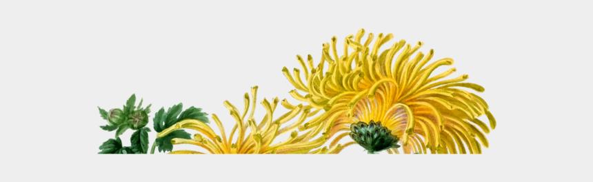 chrysanthemum clipart, Cartoons - Flower Chrysanthemum Floral Design Drawing Yellow