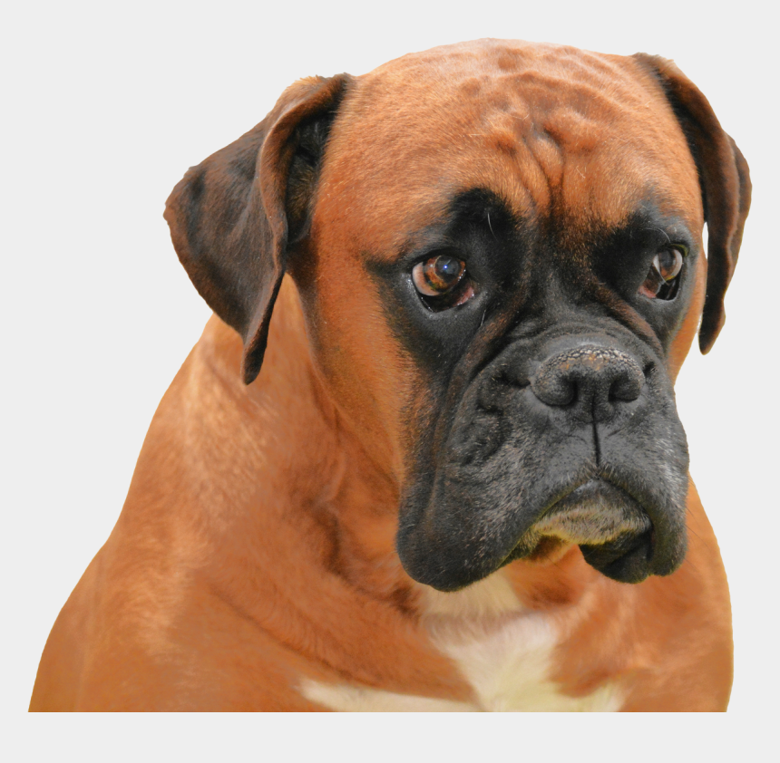 boxer dogs clipart, Cartoons - Boxer Dog Transparent Background