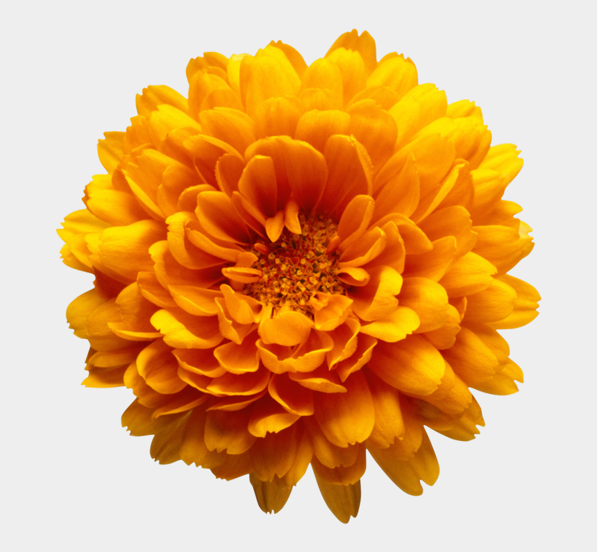 hydrangea clipart, Cartoons - Orange Chrysanthemum Flower Transparent Clip Art Image - Chrysanthemum Png