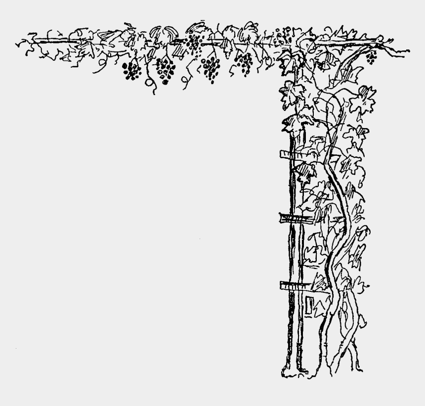 vines clipart, Cartoons - Corner Clipart Grape Vine - Grape Vine Corner Design