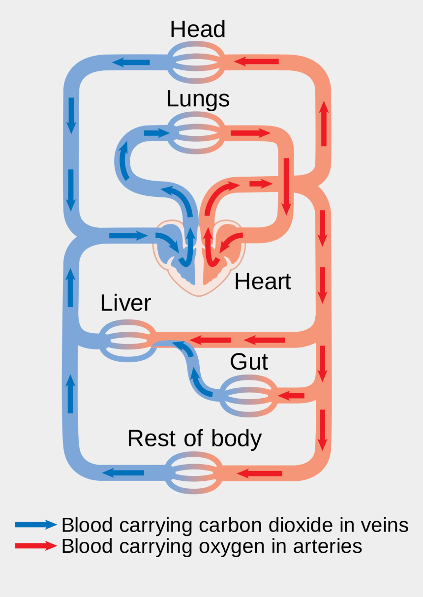 Latest Open With Circulatory System Diagram Blood