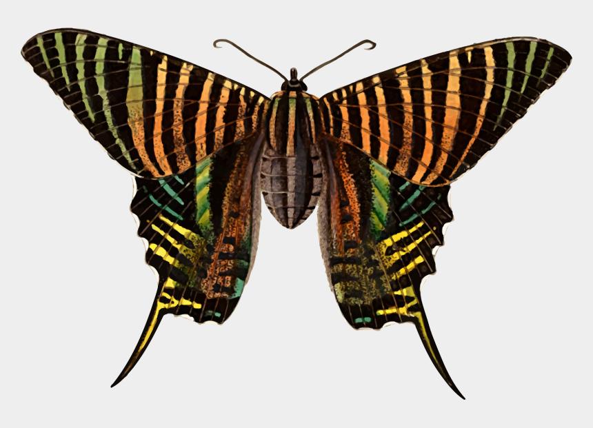 moth clipart, Cartoons - Transparent Moth Big - Brush-footed Butterflies