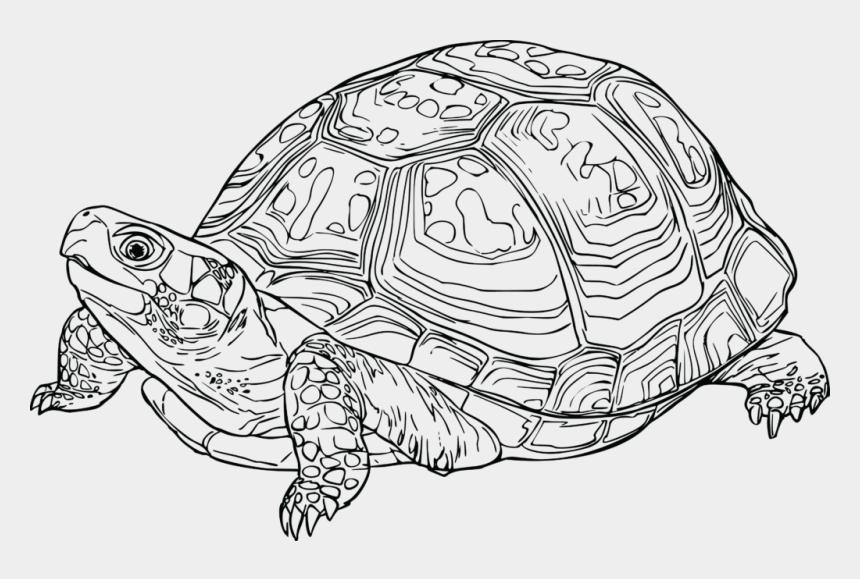 sea turtle clip art, Cartoons - Eastern Medium Image Png - Eastern Box Turtle Drawing
