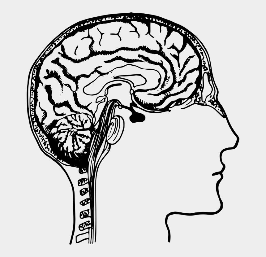 human head clipart, Cartoons - Human Brain Human Body Human Head Drawing - Human Brain Clipart Black And White