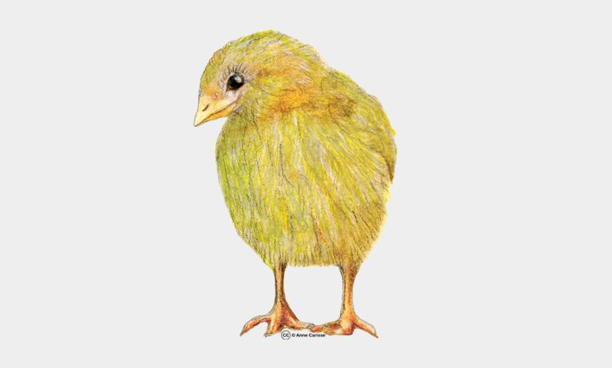 images clipart à télécharger gratuitement, Cartoons - Gratuit Clipart Animaux - Canary