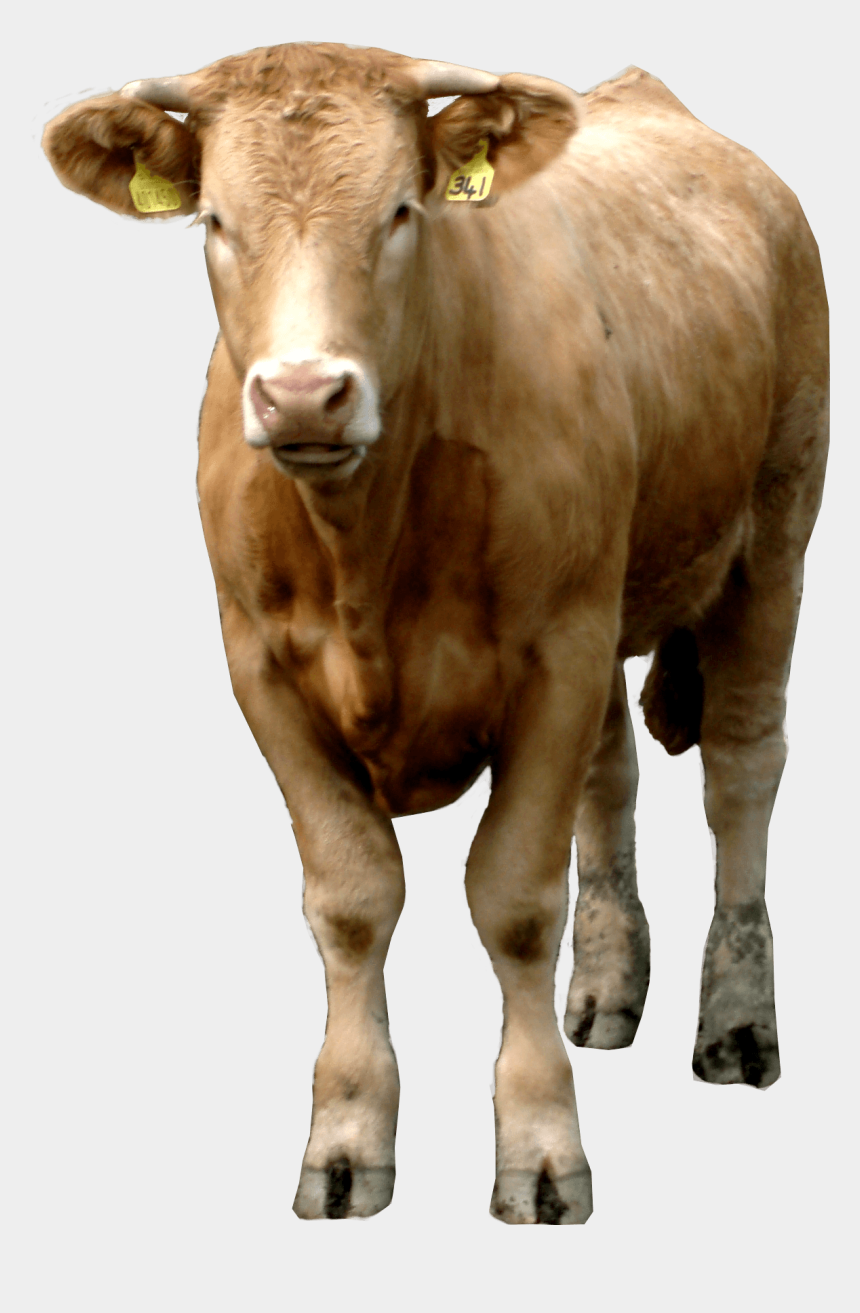 cow head clipart, Cartoons - Image - Beef Cow Transparent Background