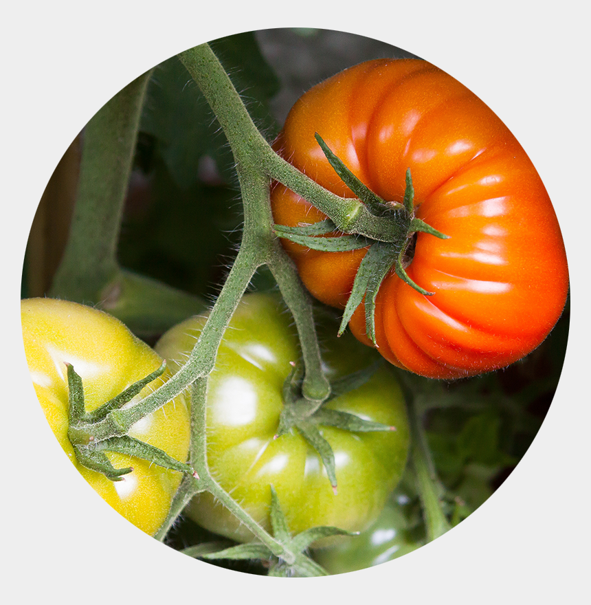 tomato plant clipart, Cartoons - Tomato Clip Trellis - Tomato