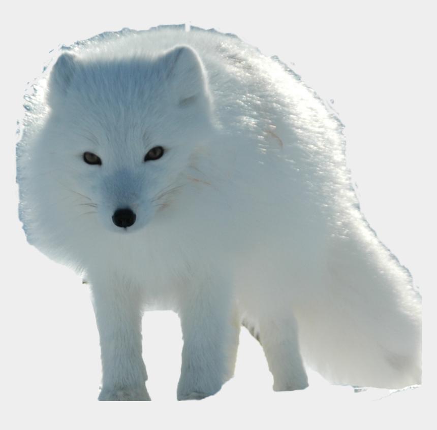 arctic fox clipart, Cartoons - Arctic Fox