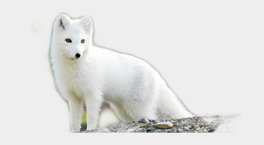 arctic fox clipart, Cartoons - Arctic Fox