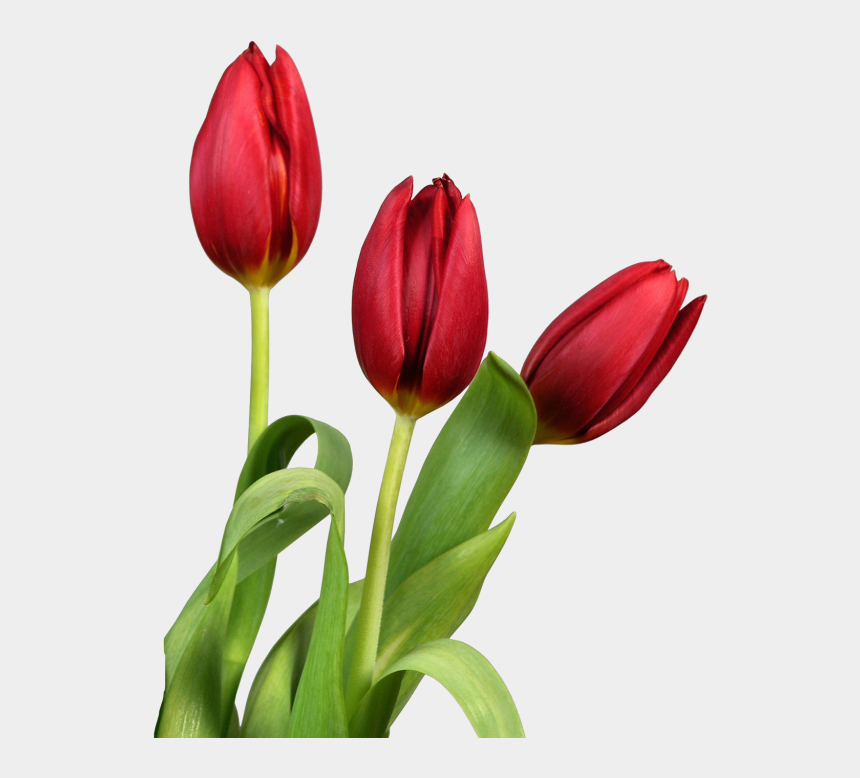 tulip flower clipart, Cartoons - Red Transparent Tulips Flowers Clipart - Tulips With White Background Hd