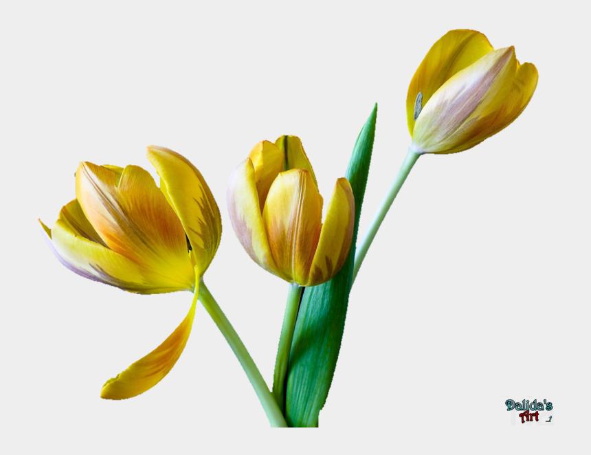 tulip flower clipart, Cartoons - Tulip Flower Free Png Transparent Images Free Download - Tulip