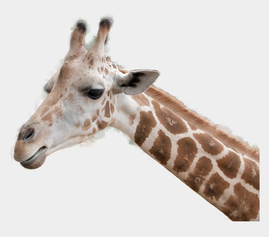 giraffe head clipart, Cartoons - Giraffe Head Png - Giraffe Head Transparent Background