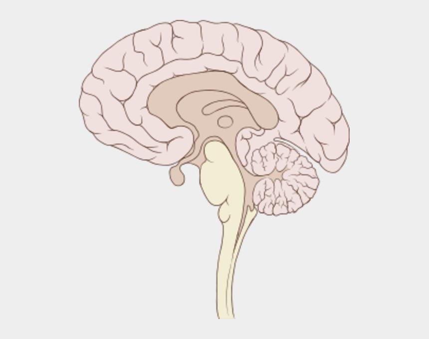 human brain clipart, Cartoons - Px Brain Human Sagittal Section Image - Brain Sagittal