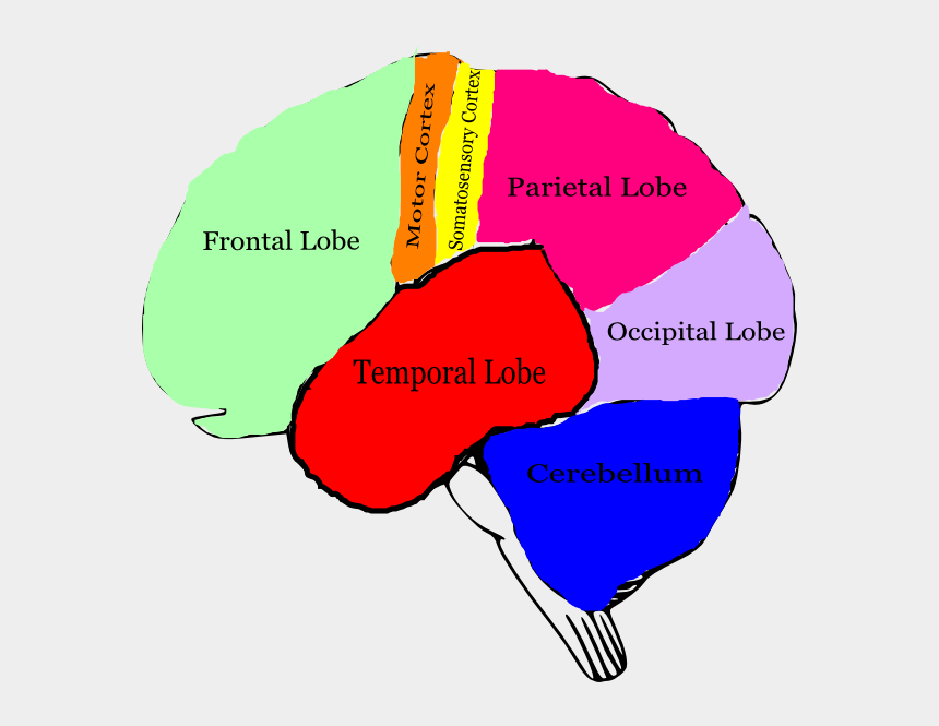 brain clip art, Cartoons - Brain Clipart With Labels