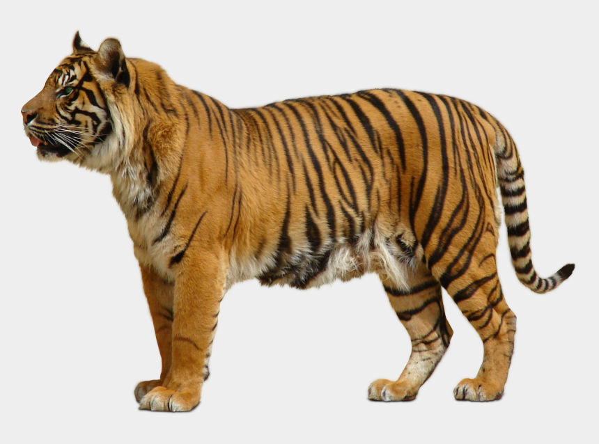 siberian tiger clipart, Cartoons - Clipart Tiger Indochinese Tiger - Tiger Transparent Background