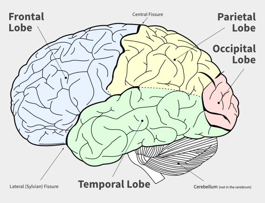 Lofi Diagram Of The Main Brain Lobes