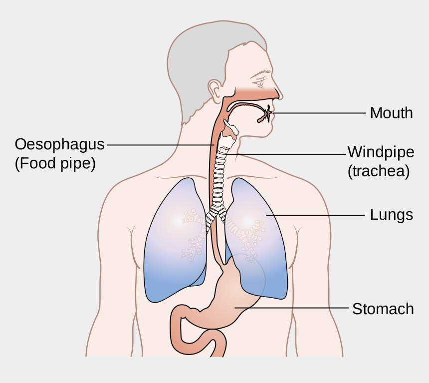 trachea clipart, Cartoons - - Position Of Oesophagus And Trachea - Difference Between Food Pipe And Windpipe