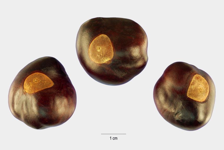 seeds clipart, Cartoons - Aesculus Glabra Seeds Image - Buckeye Tree