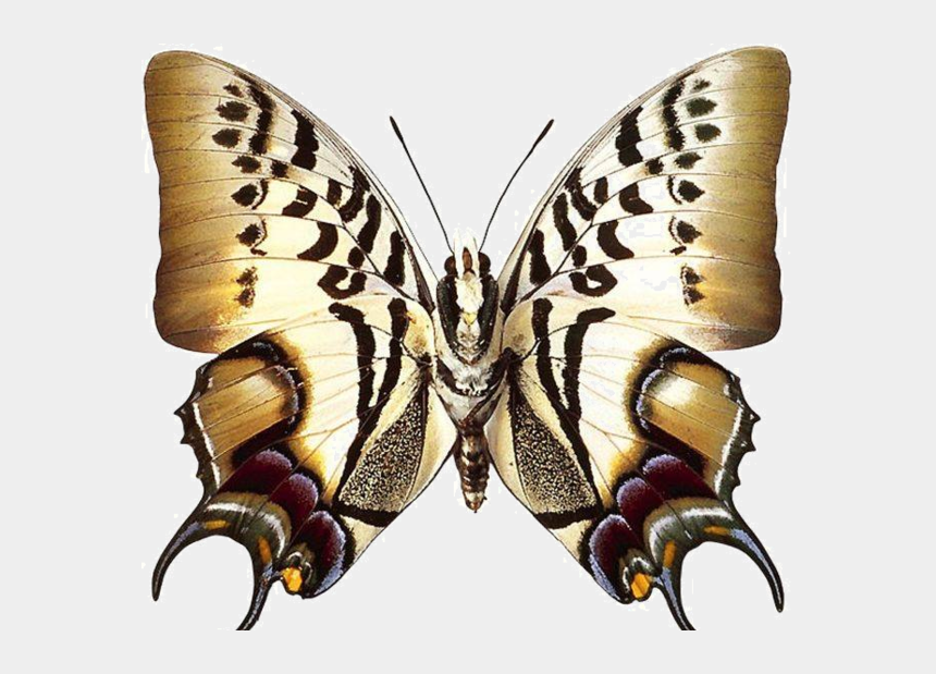 swallowtail butterfly clipart, Cartoons - Real Butterfly