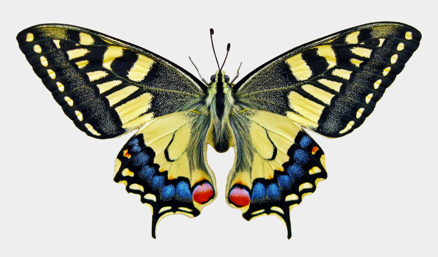 swallowtail butterfly clipart, Cartoons - Anise Swallowtail Butterfly Meaning Full Size Png Image - Symmetry In Our Environment