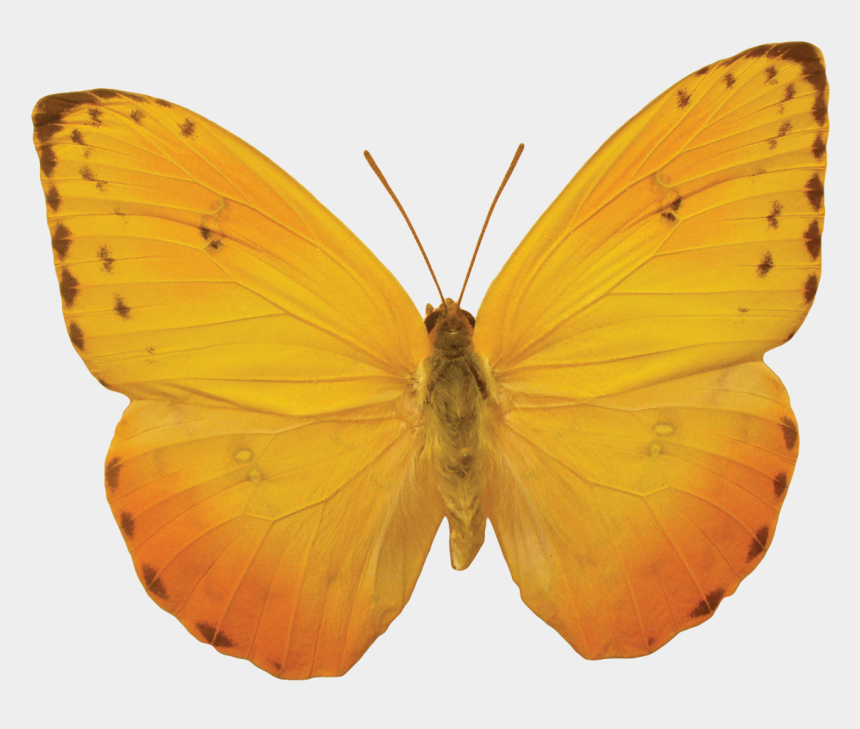 butterfly body clipart, Cartoons - Orange Butterfly Png Image, Butterflies Free Download - Yellow Butterfly No Background