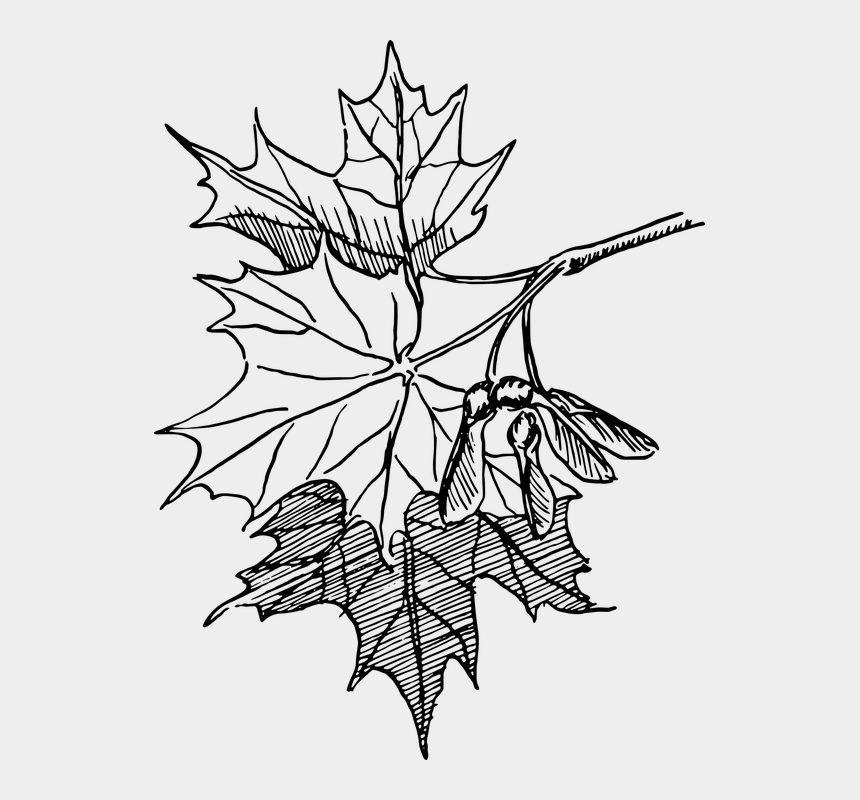 maple seed clipart, Cartoons - Maple, Seeds, Biology, Plant, Flower - Maple Leaf Line Drawing