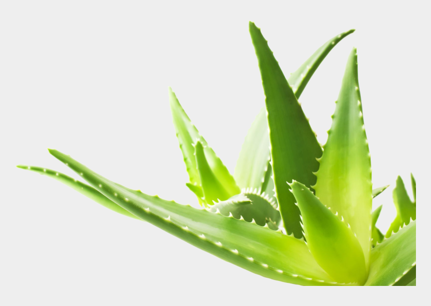 aloe vera plant clipart, Cartoons - Aloe Png Transparent Image - Forever Living Product