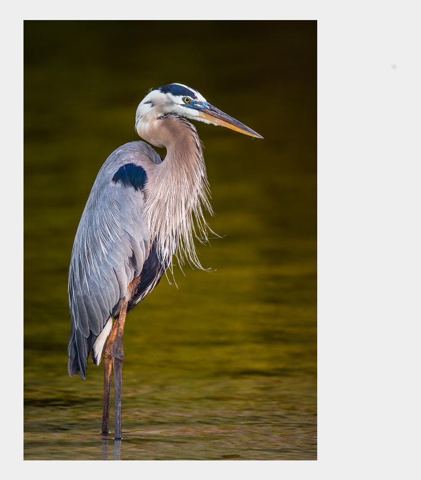 great blue heron clipart, Cartoons - Great Blue Heron