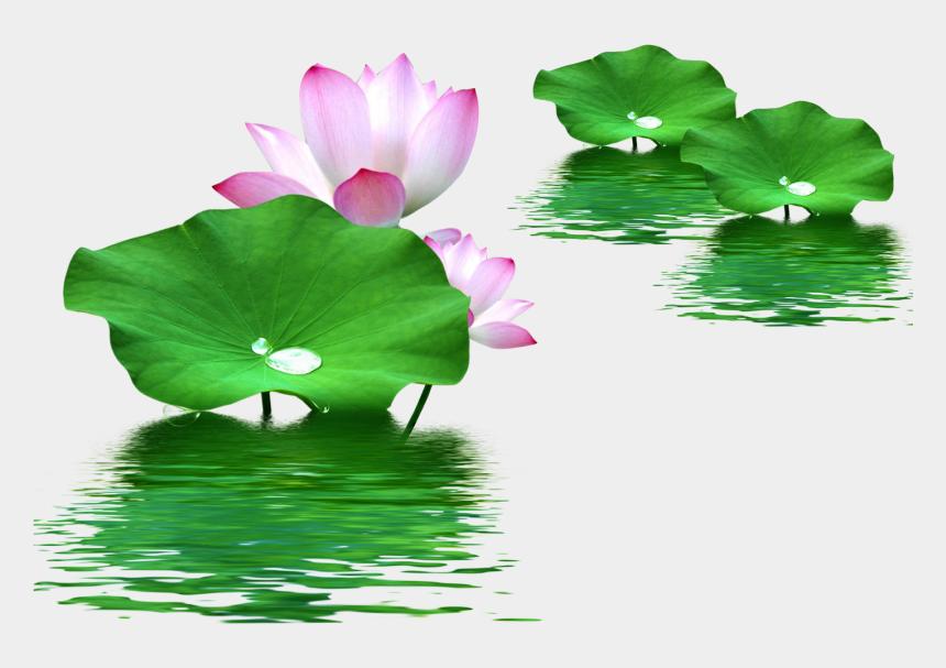 water plant clipart, Cartoons - Leaf Nelumbo Nucifera Lotus Effect Water Clipart - Png Lotus Flower Hd