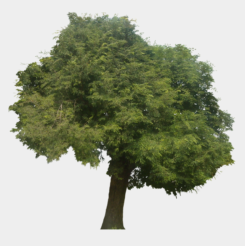 redwood clipart, Cartoons - Tree Clipart Clipart Tamarind Tree - Narra Tree In White Background