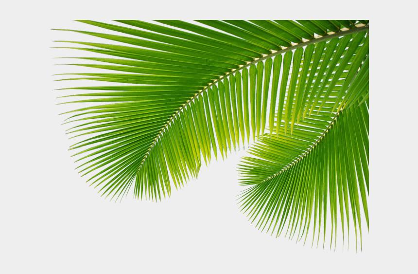palm branch clipart, Cartoons - Leaf Leaf, Leaves Arecaceae Palm Branch Clipart - Palm Tree Leaves Png