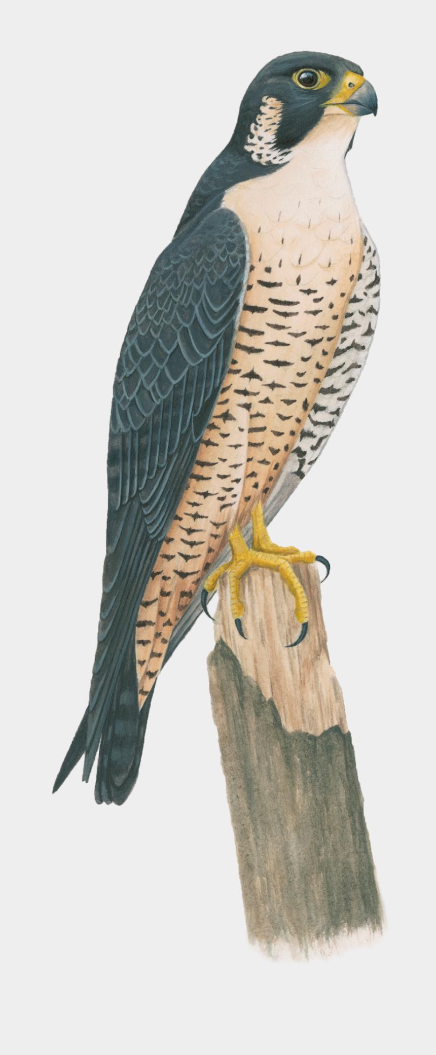 clipart of falcons, Cartoons - Hawk Clipart Peregrine - Peregrine Falcon