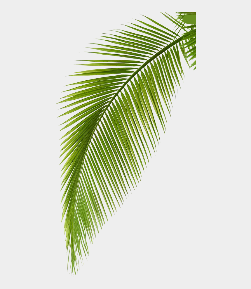 leaf branch clipart, Cartoons - Palm Arecaceae Photography Leaf Branch Free Hq Image - Palm Tree Leaves Png Transparent