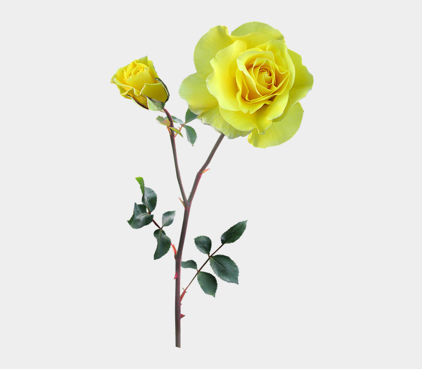 clipart yellow roses free, Cartoons - Rose, Yellow, Stem, Flower - Flower Transparent Stem