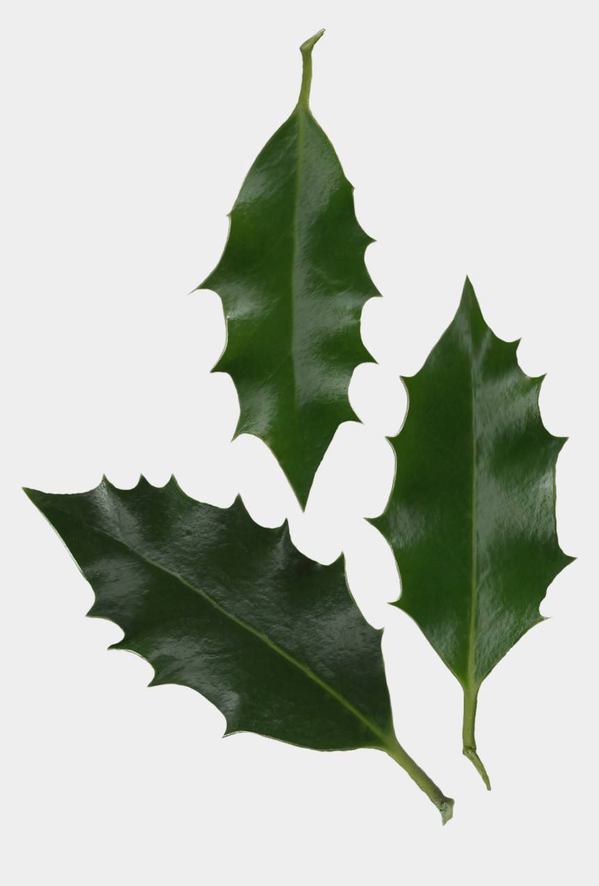 free clipart of holly leaves and berries, Cartoons - Holly Leaves Png - Ilex Aquifolium Leaf Shape