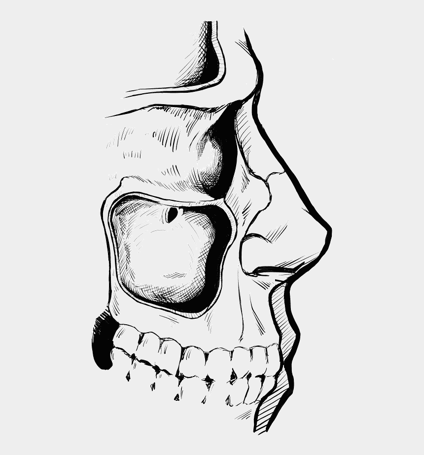 non living things clipart, Cartoons - The Human Maxillary Sinus Cavity - Illustration
