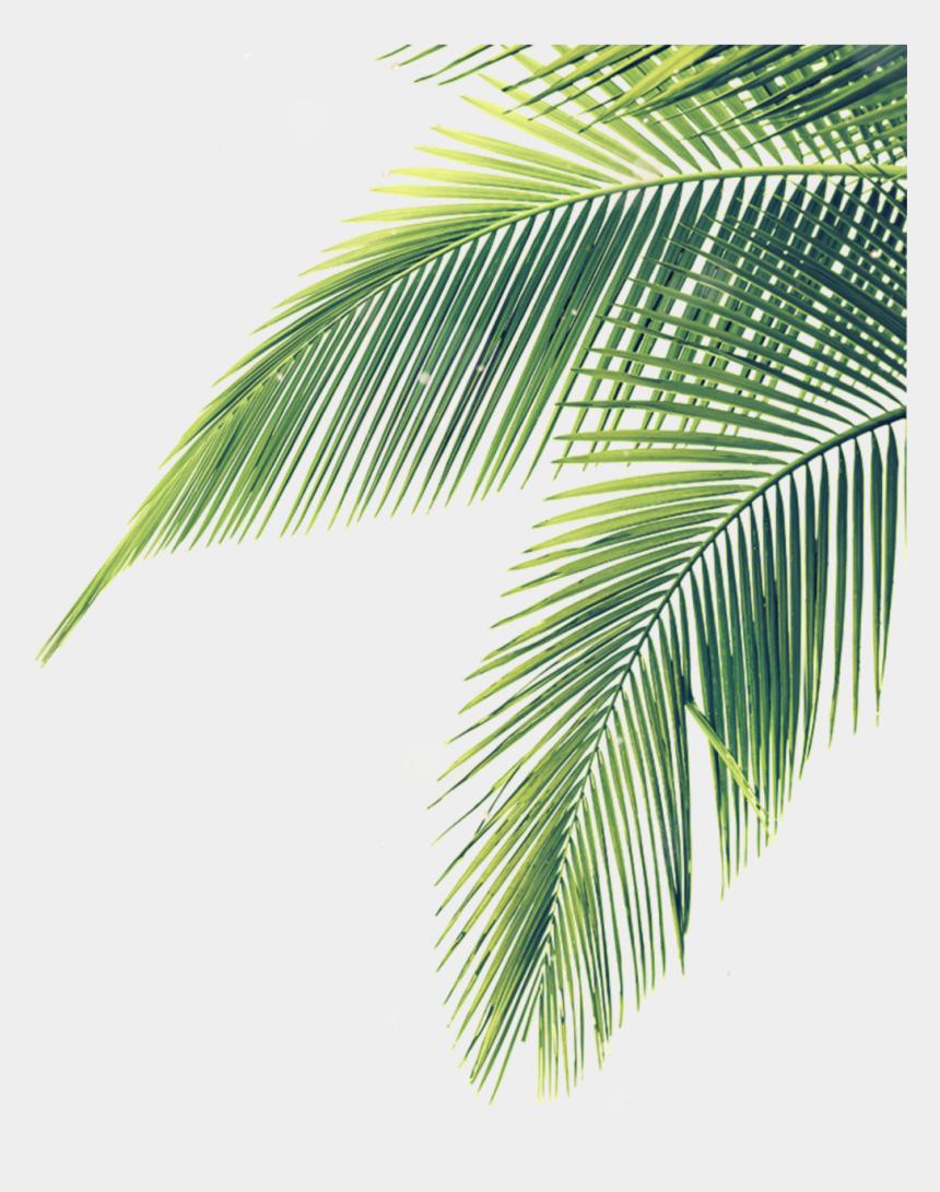 palm branches clipart, Cartoons - #hojas #palmera #sombra #stiker #mix #lines #nature - Palm Tree Leaves Png