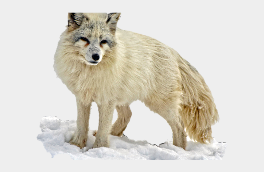 running wolf clipart, Cartoons - Arctic Wolf Clipart Transparent Background - Arctic Foxes