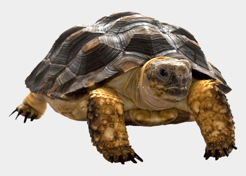 baby sea turtle clipart, Cartoons - Cartoon Turtle, Turtles, Clip Art, Animals, Tortoises, - Tortoise Png
