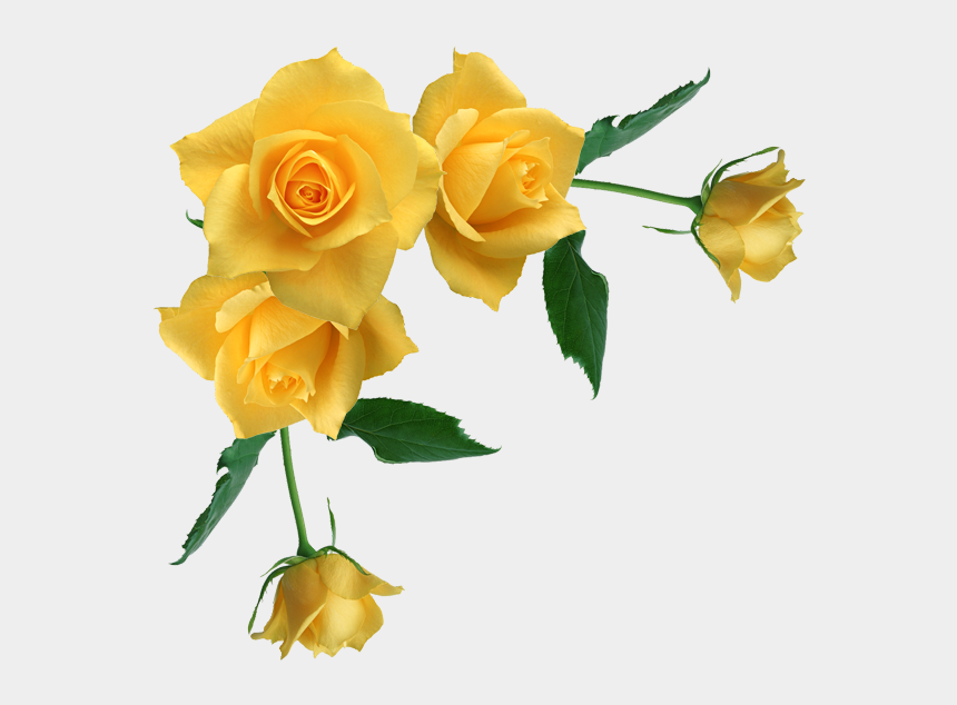 rose drawing clipart, Cartoons - Yellow Rose Clipart Stem Drawing - Yellow Roses Transparent Background