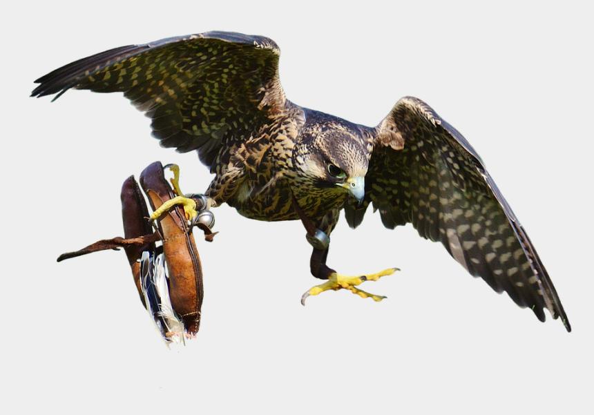 falcon bird clipart, Cartoons - Download Free Falcon Birds Png Transparent Images Transparent - Hoopoe Png Transparent Hd Kostenlos