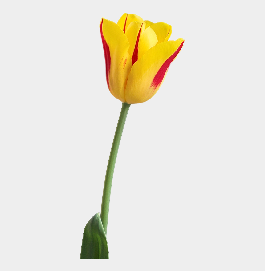 yellow tulips clipart, Cartoons - Yellow Tulip Png Image, Download Png Image With Transparent - Tulip Flower Hd Png