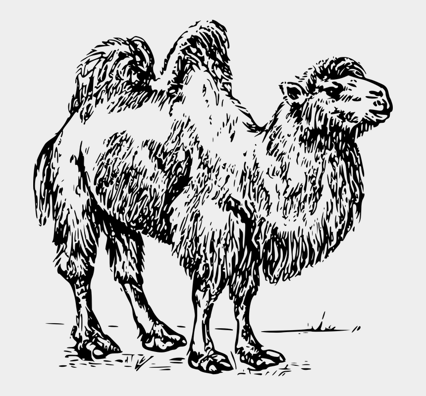 camel clipart png, Cartoons - Camel Drawings Two Hump