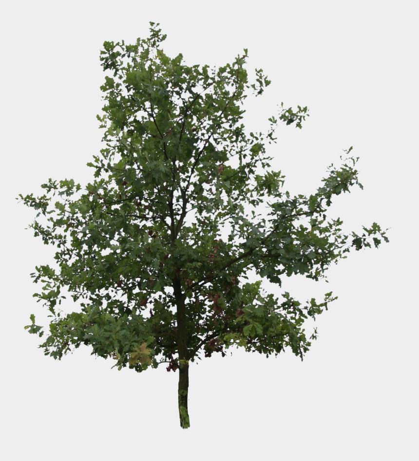 oak tree clipart, Cartoons - Oak Tree Png