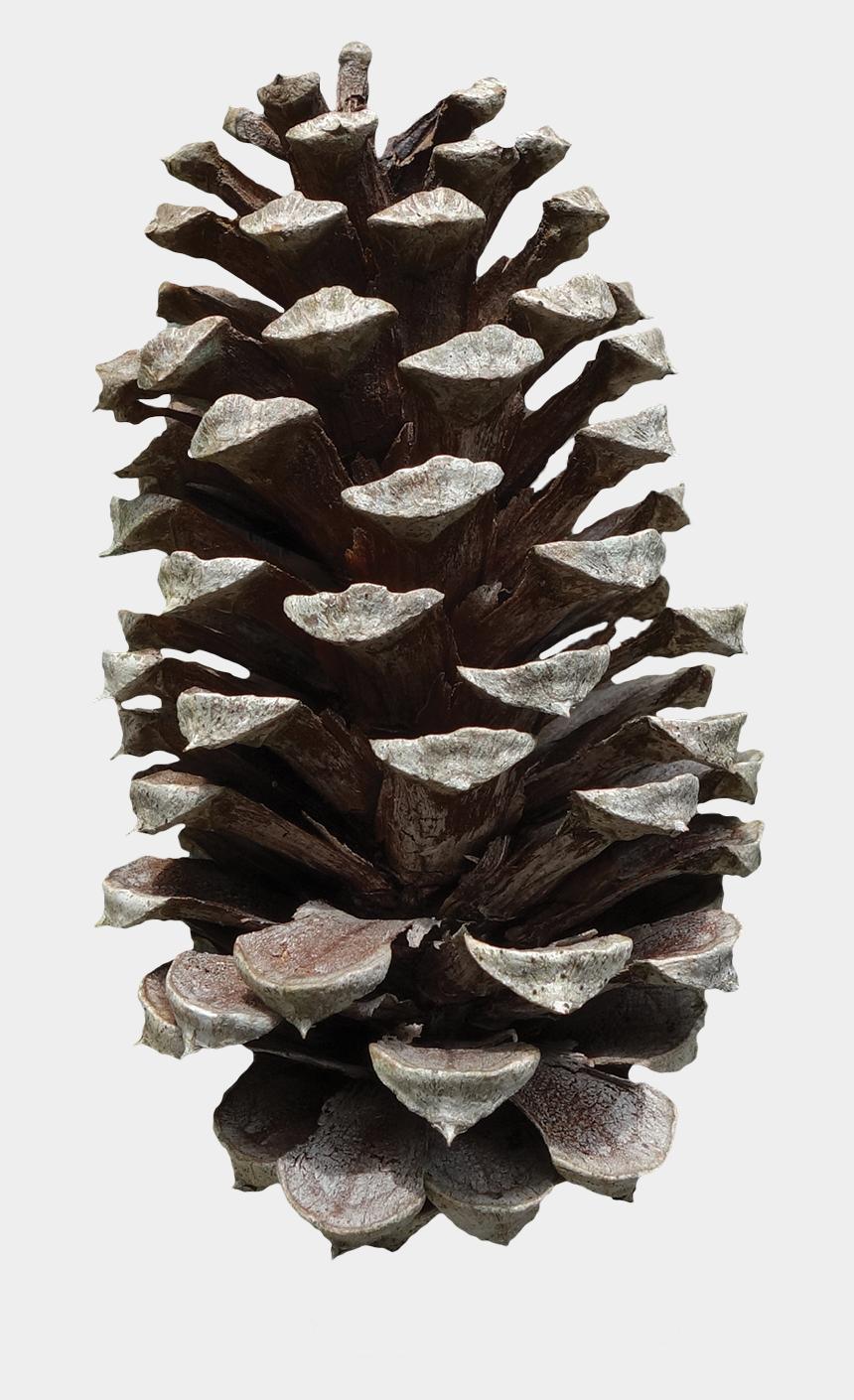 pine cone clip art, Cartoons - Pine Cone - Portable Network Graphics